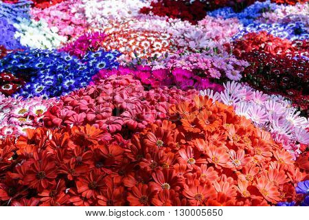 Plenty of colorful gerberas carpet covering the hilly terrain