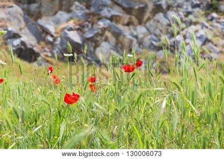 Red poppy flowers on the field symbol for Remembrance Day and stone wall with copy space