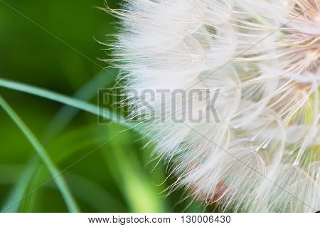 Dandelion abstract closeup on green tranquil texture background