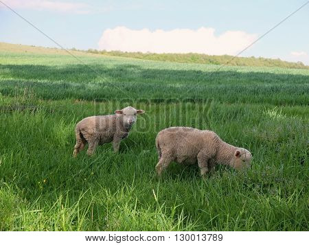 Young sheep grazing in the meadow. Young sheep in spring.