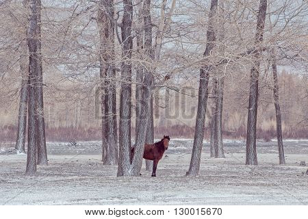 lonely horse in front of snowy stands behind trees