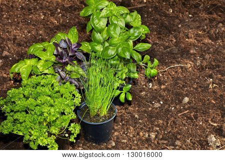Parsley and basil in the garden.