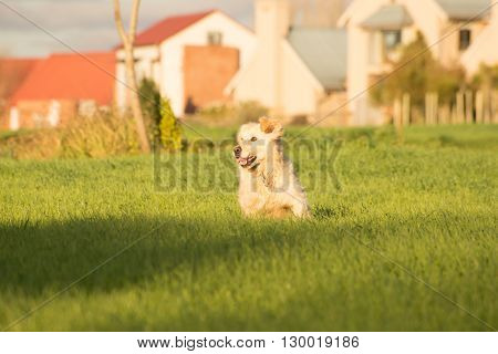 Golden Retriever Running In The Fields