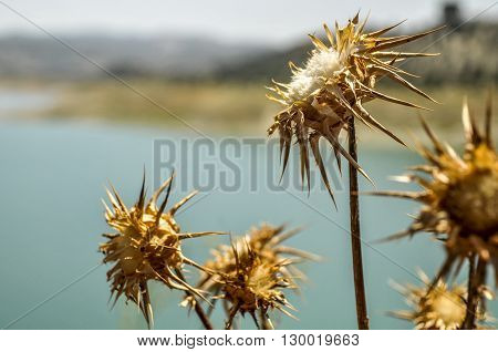 Cotton Flowers near the lake in the south of Spain