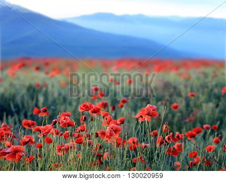 Scene with red poppy flowers in mountains