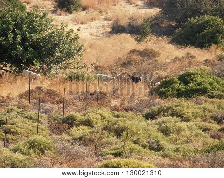 Foto of goats in Crete rural mountains