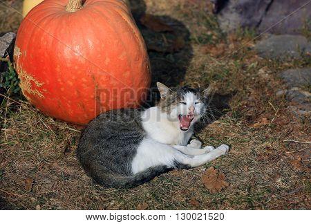 funny yawning cat near big pumpkin