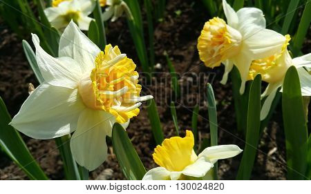 Close up of beautiful white Daffodils (Narcissus)