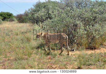 Wild Cheetah In the African Savannah Namibia