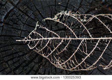 Dried leaf skeleton on burned tree stump.
