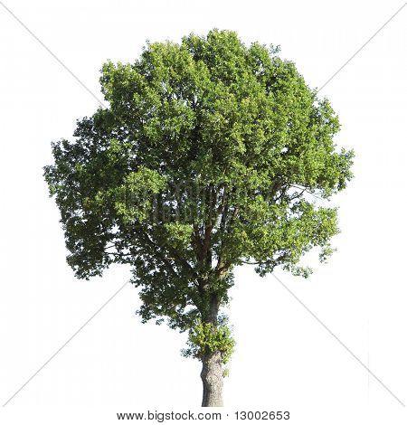 Árbol de nuez (nombre latino: Juglans regia) aislado sobre fondo blanco.