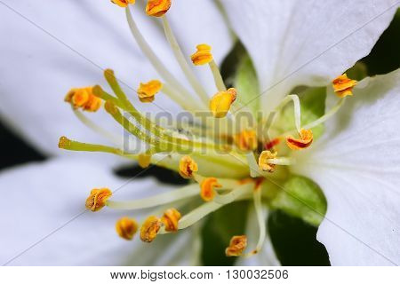 Stems of white flowers of apple tree - image with shallow dof.