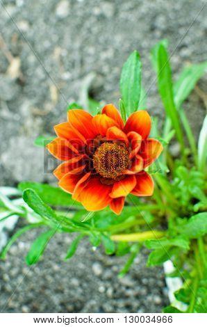 Gazania Garden Plant In Flower.bright Yellow