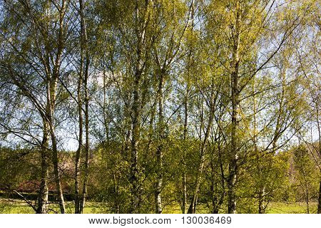 Silver Birch Trees Against A Blue Sky