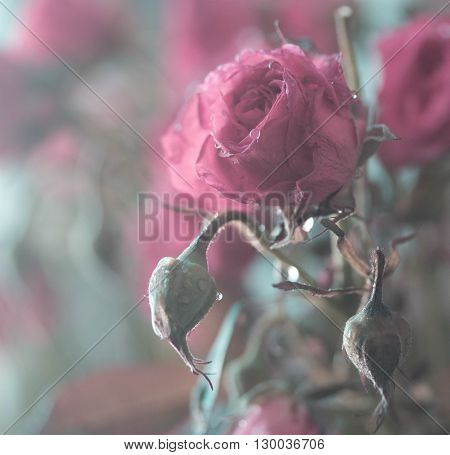 bouquet of pink blooming rose bush with water drops