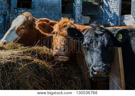 Mixed breed cattle at a feed lot.