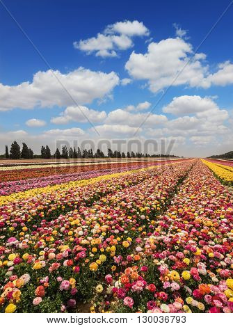Israeli kibbutz in the south. Magnificent flower carpet of colorful garden buttercups close to the border.  Spring flowering buttercups