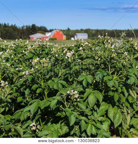 Potato plants flowering in a field on a Prince Edward Island potato farm.