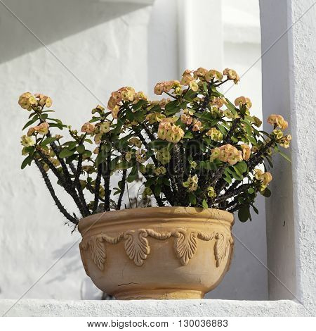 Euphorbia plant (crown of thorns) in flowerpot.
