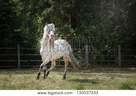 Knabstrup Appaloosa Horse Trotting In A Meadow