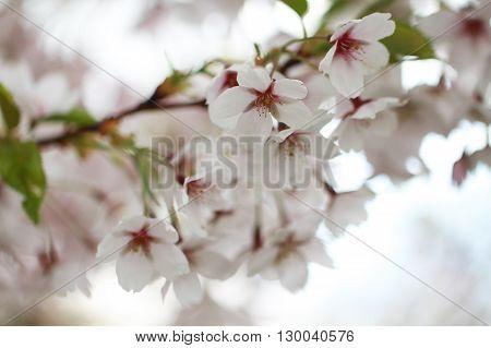 Sakura beautiful whit flower close up photo