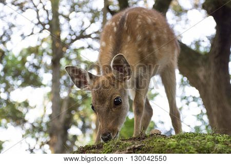 Baby deer grazing in a park - Nara, Japan