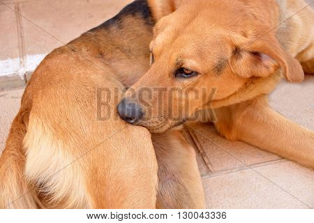 domestic dog is cleaning itself biting the ticks and fleas