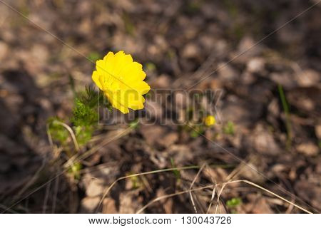Yellow flower of spring in the forest. Primrose