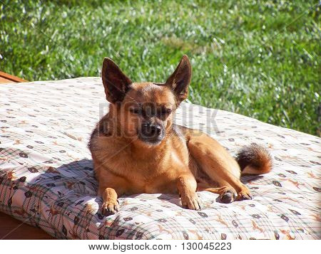 a cute chihuahua facing the camera on a sunny summer day on a bed