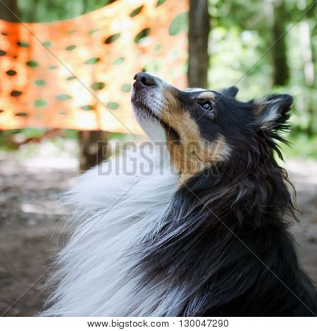 Sheltie dog portrait closeup in the forest on a background of trees and orange textile.