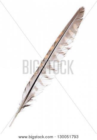 variegated falcon feather isolated on white background