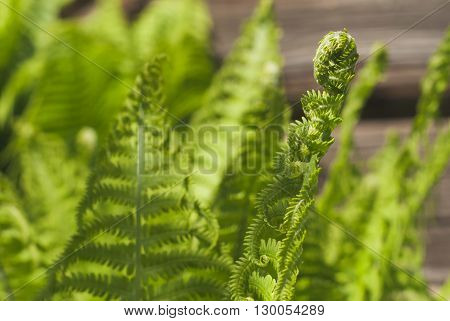 Fern a green plant in sunlight background close-up