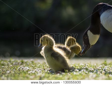 Canada goose (Branta canadensis) parent bird with goslings. Young chicks touching beaks with wild adult on short grass with many daisy flowers