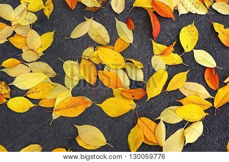 Bright fallen foliage on gray asphalt background
