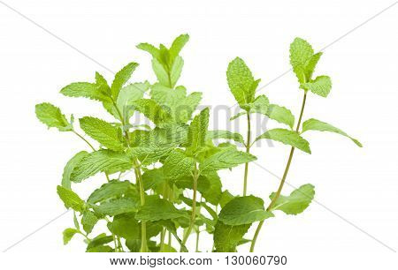 Fresh Growing Mint Plants