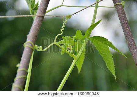 Cyclanthera pedata plant also known as slipper gourd or achocha