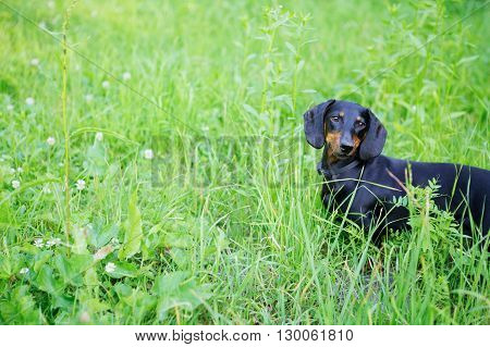 Black And Red Smooth-haired Dachshund Among The Grass