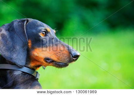 Portrait Of Red And Black Dachshund