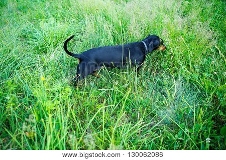 Black Smooth-haired Dachshund Hunting Among The Green Grass