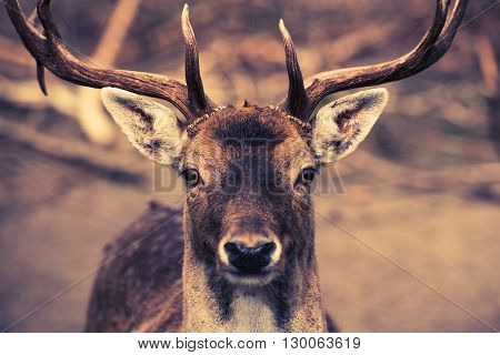Portrait of the Deer Buck. Wild Animals Theme.