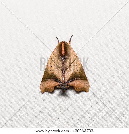 Nolid Moth On White Screen