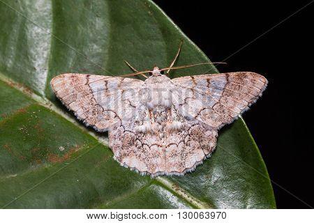 Geometrid Moth On Green Leaf