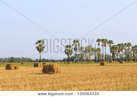 Rice Field After Harvesting