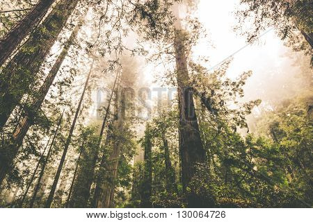 Foggy Forest Landscape. California Redwood Forest. Nature.