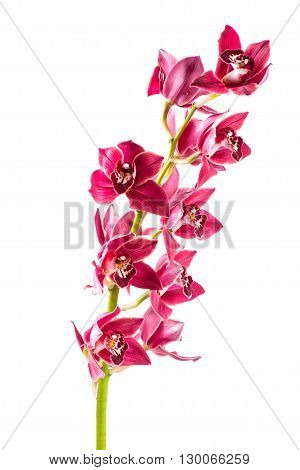 Cymbidium orchid branch isolated on white background