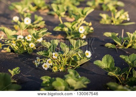 Flowering plants of strawberries in a vegetable bed of Garden in springtime