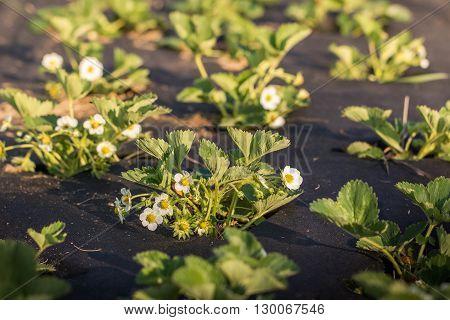 Flowering plants of strawberries in a vegetable bed of Garden in springtime