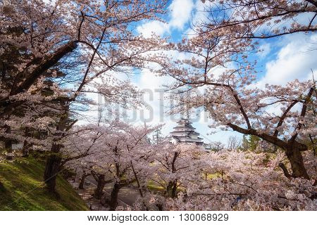Tsuruga Castle (Aizu castle) surrounded by hundreds of sakura trees