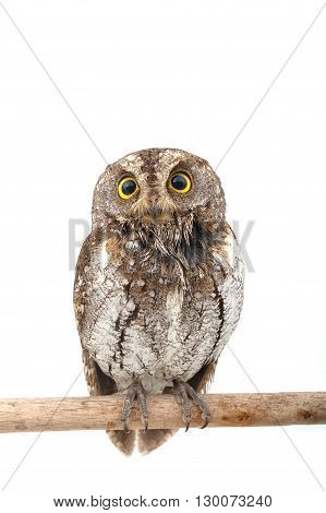 closeup of owl isolate on white background