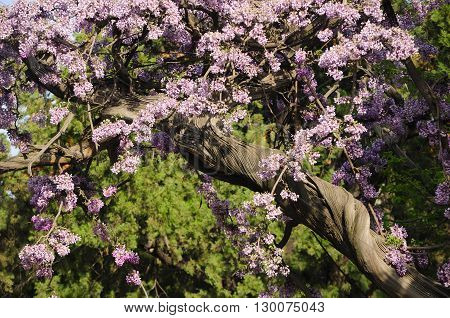An ancient wisteria vine blooming in the direct sunlight within the Confucius temple in Beijing China.